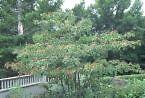 Cornus alternifolia ALTERNATE LEAVED DOGWOOD Seeds!