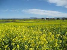 1000 YELLOW MUSTARD Brassica Juncea Vegetable Herb Seeds + Gift & Comb S/H