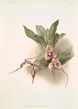Masdevallia Backhousiana By Joseph Sander Floral Print