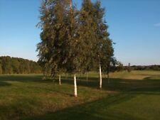 4 sizes of Silver Birch Hedging Plants 10-250 plant pack bundles tree saplings