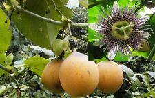 40-100+ Passiflora ligularis seed world's best tasting passion fruit very sweet!