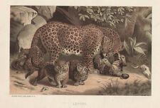 Mother Leopard & Baby Cubs Chromolithograph 1885 Home Decor Antique Art Print