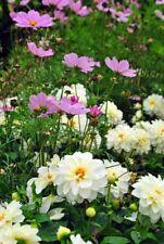 White Dahila summer flowers perennial plants photograph picture poster print