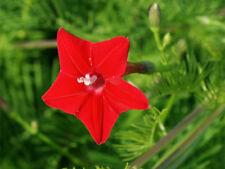Flower Seed: Cardinalis Morning Glory Seeds Fresh Seed Free Shipping
