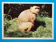 Figurina Panini-ANIMALI DI TUTTO IL MONDO 1965-n.45-MACACO-rec