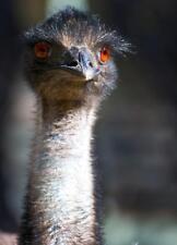 EMU POSTER PICTURE PHOTO PRINT BANNER bird australia long neck ostrich gray 4687