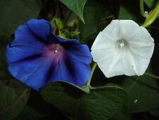 Mix or single Morning Glory seed Ipomoea tricolor purpurea alba sacred entheogen