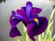 Iris ensata (Japenese clematis iris or Iris kaempferi) - Marginal Pond Plants  -