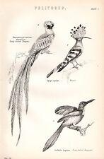 1880 PRINT ~ VOLITORES ~ BIRDS ~ HOOPOE JACAMAR LONG TAILED TROGON