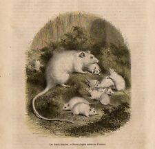 Stampa antica animali TOPOLINO BIANCO 1856 Old print
