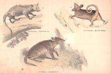 Marsupial Opossum, Bandicoot & Phalanger Original 1875 vintage painted engraving