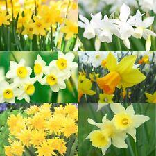 DAFFODIL BULBS Miniature Dwarf Spring Flowering Narcissi  And Wild Daffodils