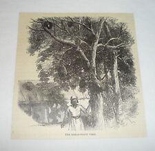1877 magazine engraving ~ THE BREAD-FRUIT TREE