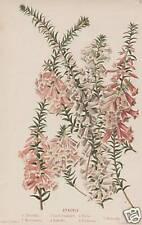 1890 J.B. Wolters Chromolith Botanical Vintage Print