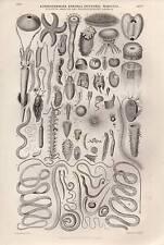1864 PRINT ~ ECHINODERMATA ENTOZOA INFUSORIA MOLLUSCA OVER 60 VARIOUS IMAGES