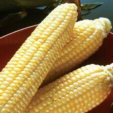 Incredible Sugar Enhanced Yellow Sweet Corn Seed Treated