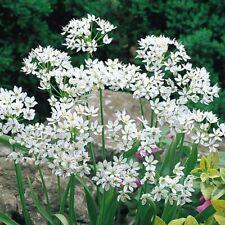 """Bolly Bulbs® Allium Neopolitanum(Grandiflorum) bulbs. """"White Garlic"""" - PRE ORDER"""