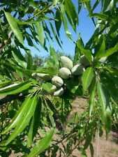 Alberi da frutto Mandorlo pianta da Frutta Mandorla DIVERSE VARIETA'