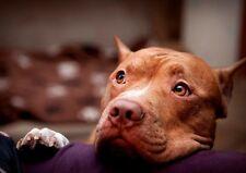 Pitbull En Sofá Bonito Perro Lindo Dulce Animal Salvaje Nuevo Cartel A3 A4