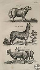 Merian oveja cordero steppenschaf widder schafbock lana Sheep lama Wether Goat