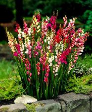 PRE-ORDER IXIA CORN LILIES BULBS HARDY PERENNIAL GARDEN,POTS SUMMER FLOWERING
