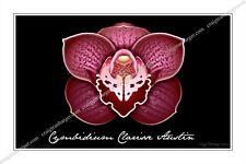 Orchid, Orchidaceae, Cymbidium Clarisse Austin,flower