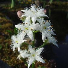 Menyanthes trifoliata (Bog bean) - Marginal Pond Plants  - Pond Plants - Water P