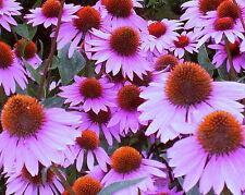 Coneflower Seeds Purple, Bulk Seeds, Heirloom Wildflower, Perennial Seeds 400ct