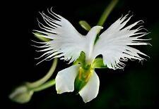 WHITE EGRET ORCHID FLOWER Habenaria Radiata  Viable Seeds UK Stock