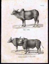 Zebu-Ochs-Aurochs-Bison 1840 Schinz Lithographs