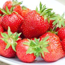Strawberry 'Flamenco' Bare Root Everbearer Garden Bush Fruit Plants