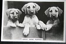 Great Dane Puppies  Original Vintage Photo Card  VGC