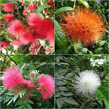 Excuisite Pom Pom Plant Seeds Calliandra Haematocephala Powder Puff Flower Seed