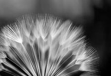 1023 -Puste-Blumen Sonne Wald Bäume Schwarz-Weiß xxl VLIES Fototapete-LÖWENZAHN-