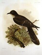 THICK BILLED CUCKOO,CUCULUS AUDEBERTi,  KEULEMANS ANTIQUE BIRD PRINT c1880
