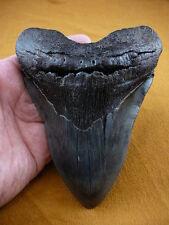 "(S299-4) 6-1/4"" RARE Megalodon fossil Collector SHARK TOOTH sharks huge specimen"