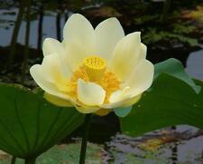 Nelumbo ( Lotus Sacré ) Lutea Graines,Américaine Lotus Aquatiques Résistente au