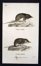 1802 Shaw Print Common & Water Shrew Soricidae - Mamal Antique