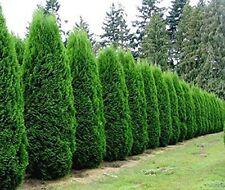 Emerald Green Arborvitae Tree ( Thuja ) - Live Plant - Trade Gallon Pot
