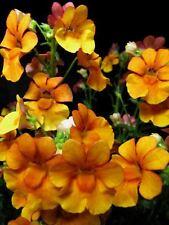 50 Orange Prince Nemesia Strumosa Flower Seeds *Comb S/H + Free Gift