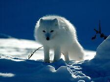 Arctic Cute Fox White Snow Giant Print POSTER Affiche