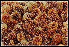 Premium Quality New Season Natural Pine Cones 4cm 8cm Pinecone Florist Crafts UK
