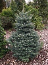 Blue Balsam Fir, Abies balsamea Cooks Blue, Tree Seeds (Fragrant Evergreen)