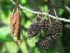 European black alder,Common alder (Alnus glutinosa)-200/500/1200/3000 Seeds+Gift
