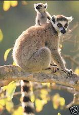Tarjeta postal: katta con Baby, Madagascar, lémur