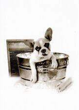 Postkarte: Waschtag! Französische Bulldogge im Waschzuber- dog is getting a bath