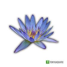 Nymphaea Geena Blue Tropical Water Lily Tuber Live Rhizome Seed Aquatic Plant