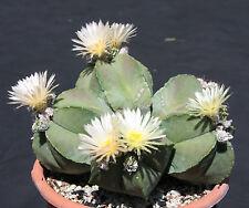 Astrophytum Myriostigma Nudun rare cacti exotic flowering cactus seed 100 Seeds