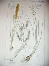 DIETRICH D. Nathaniel Friedrich Flora Universalis 1831-1861 LACHENALIA  Botanica