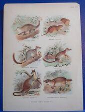 Antique Print/c1860s/Australian Mammals/Wallaby+/p54